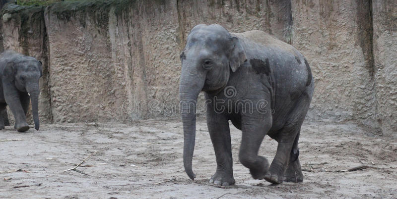 Download Asian elephant walking stock photo. Image of stand, green - 83704712