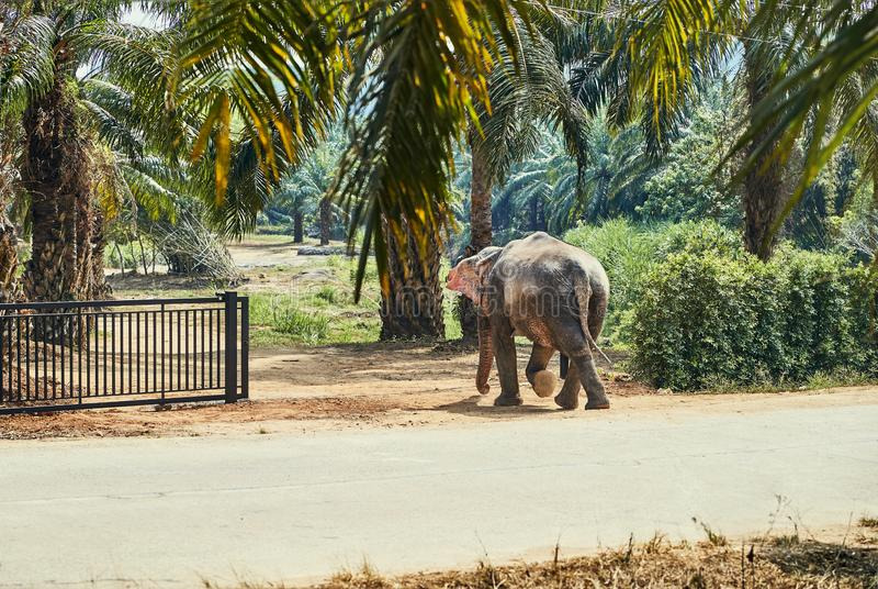 Asian elephant walking through a gate at an animal sanctuary stock image