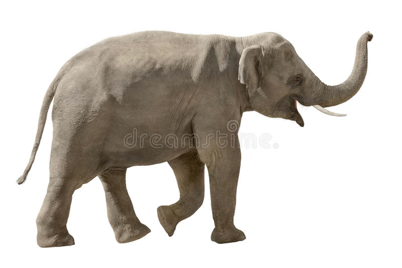 Cheerful elephant isolated on white royalty free stock photo
