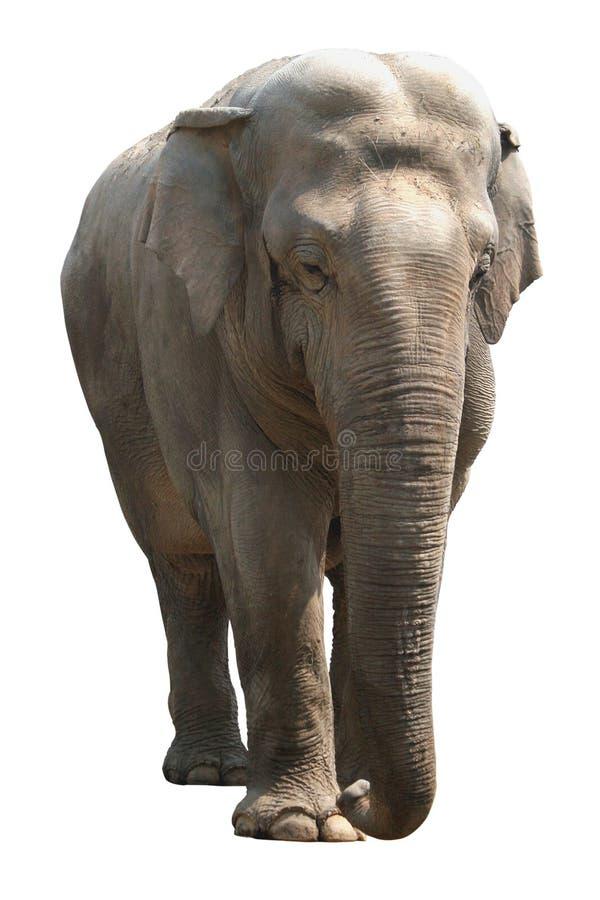 elephant white background wwwpixsharkcom images