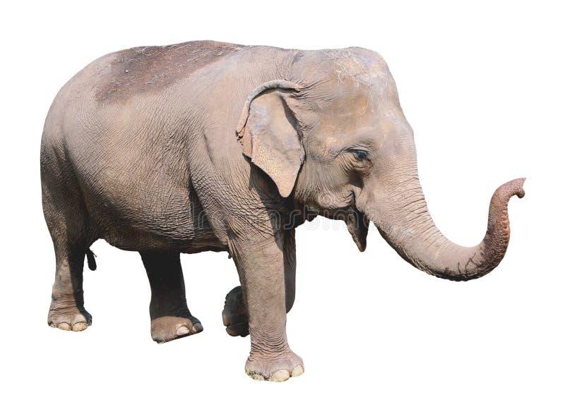 asian elephant on white background stock image image of