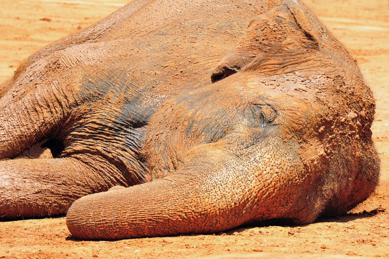 Asian Elephant in a Zoo. An Asian Elephant sleeps on the ground, covered in brown mud stock photography