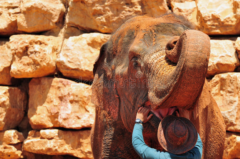 Asian Elephant in a Zoo. An Asian Elephant is covered in brown mud stock images