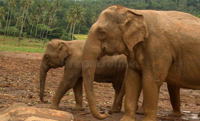 Asian Elephants Royalty Free Stock Photos