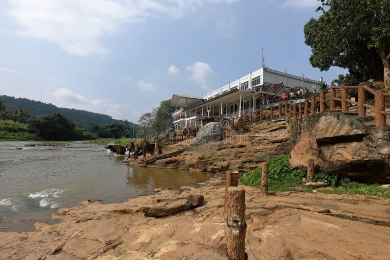 Asian elephants bathing in the river of Pinnawala in Sri Lanka royalty free stock photos