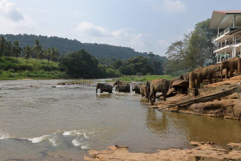 Asian elephants bathing in the river of Pinnawala in Sri Lanka stock photos