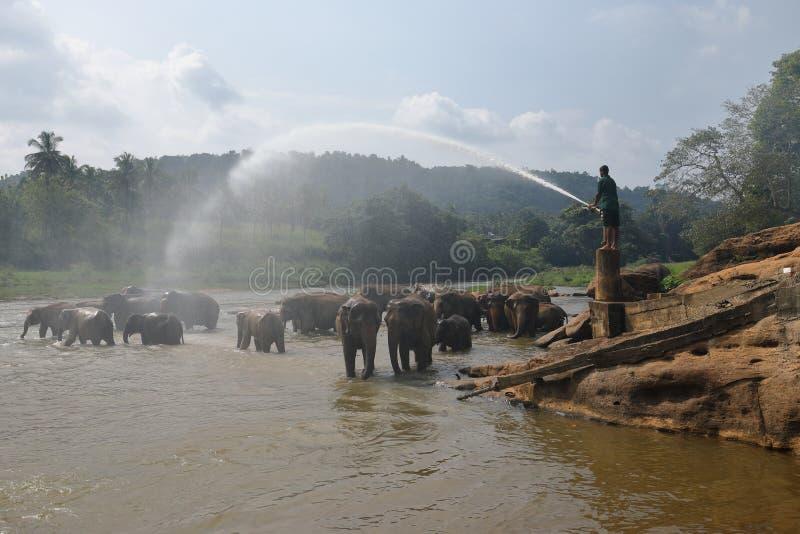 Asian elephants bathing in the river of Pinnawala in Sri Lanka stock photo