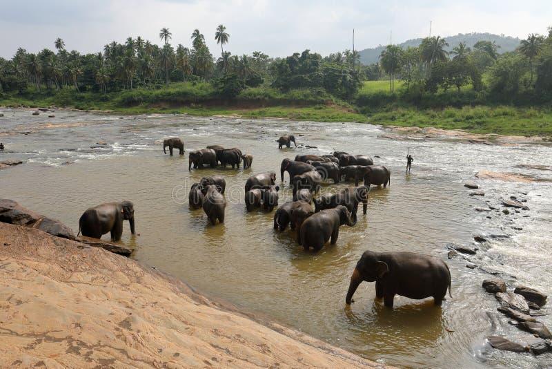 Asian elephants bathing in the river of Pinnawala in Sri Lanka stock images