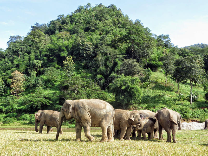 Asian elephants gather together at the Elephant Nature Park in Northern Thailand. A herd (or Memory) of elephants gather together at the base of a small stock photography