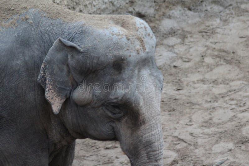 Download Asian elephants head close stock image. Image of enclosure - 83706097