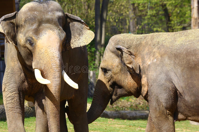 Asian elephants in Prague zoo stock photography