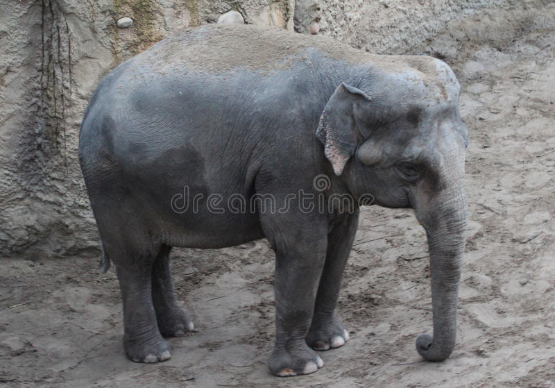 Download Asian Elephants Standing Stock Photo - Image: 83706133