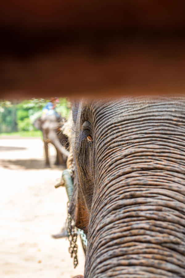 Asian elephants at Thai Elephant Conservation Center.  stock photo