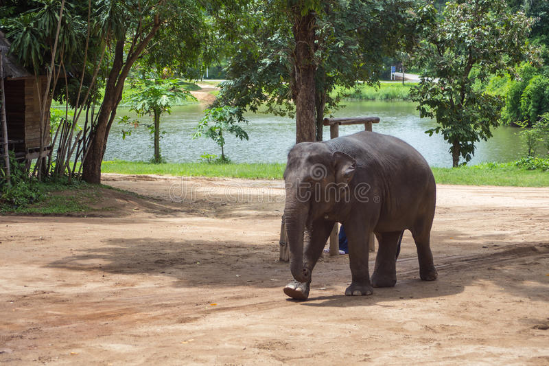 Asian elephants at Thai Elephant Conservation Center.  stock image