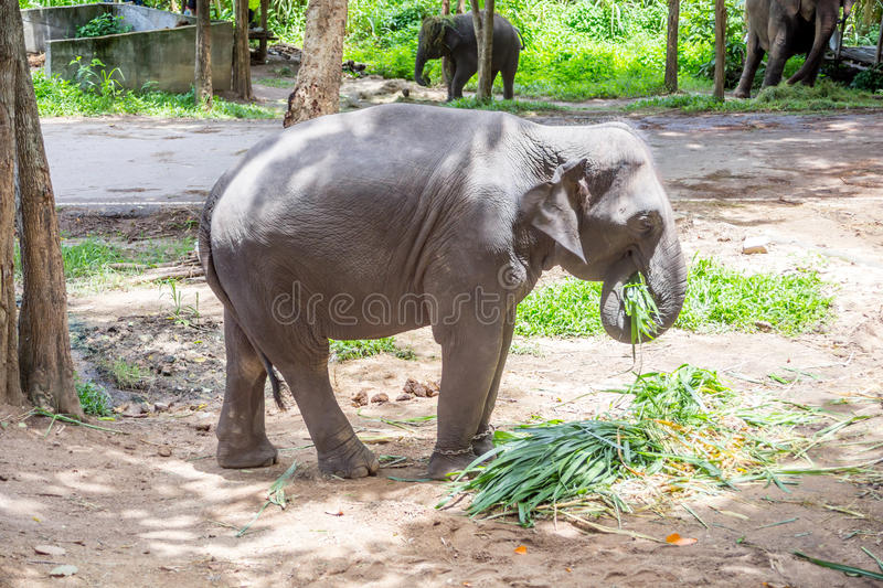 Asian elephants at Thai Elephant Conservation Center.  royalty free stock photography