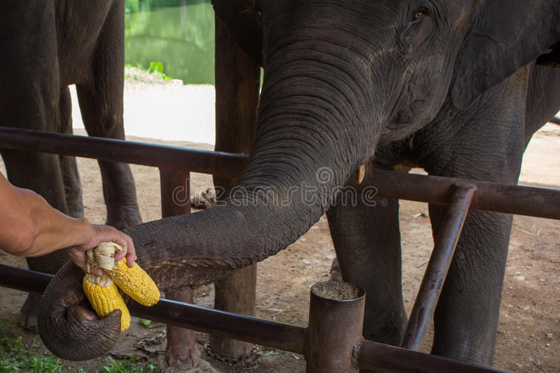 Asian elephants at Thai Elephant Conservation Center.  stock images