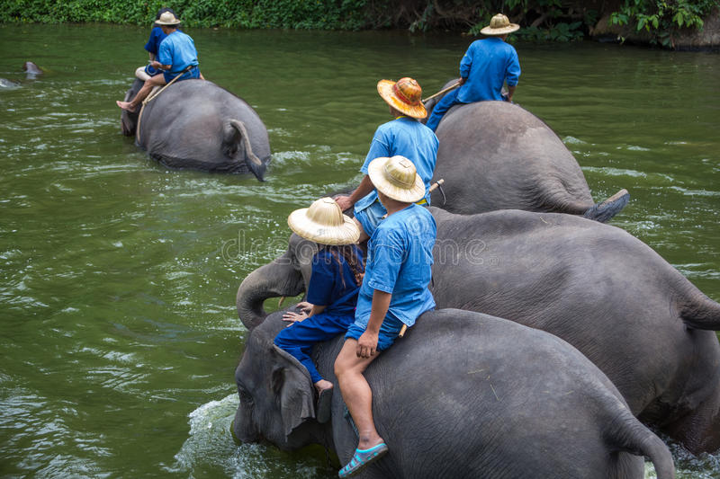 Asian elephants at Thai Elephant Conservation Center.  royalty free stock images