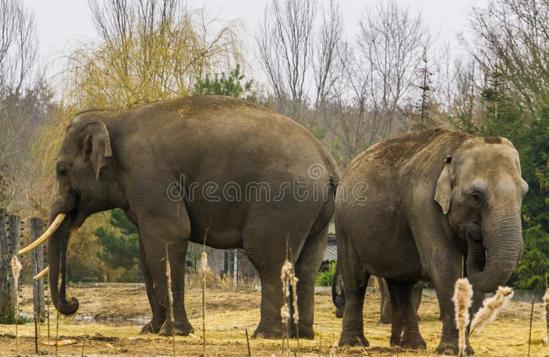 Asian elephants together, One tusked male and a female, elephant couple standing together, Endangered animal species. Asian elephants together, One tusked male stock images