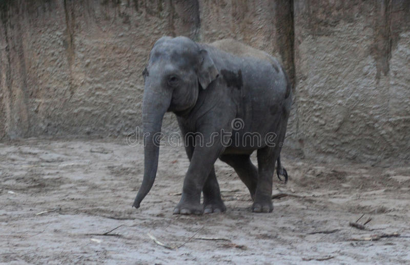 Download Asian Elephants Walking Stock Photo - Image: 83705996