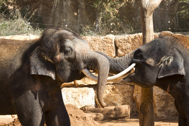 Asian elephants at the zoo communicate with each other using their trunks and tusk. S in zoo stock photography