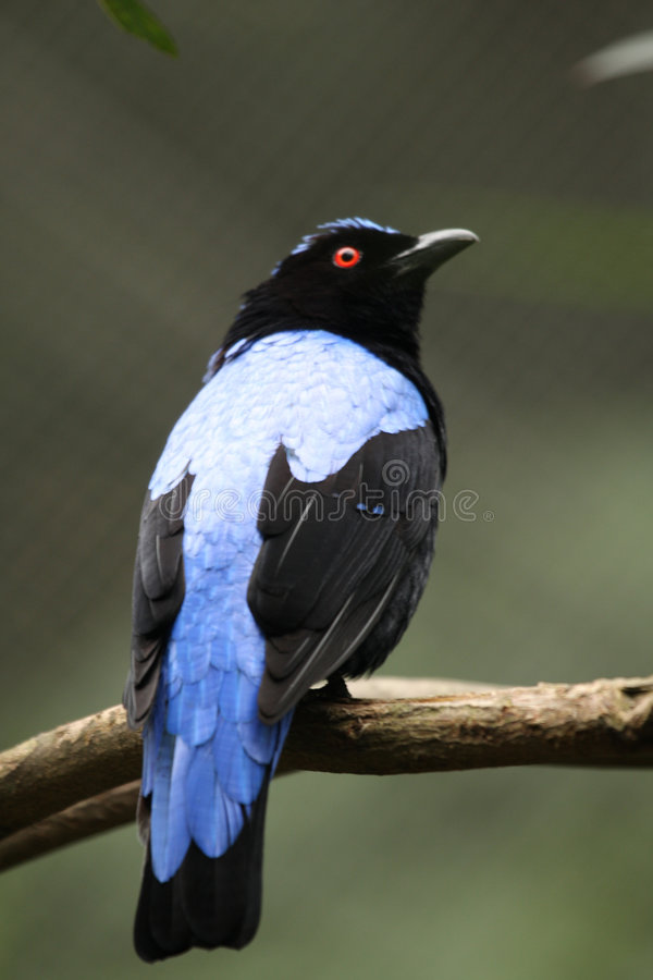 Asian Fairy Bluebird stock images