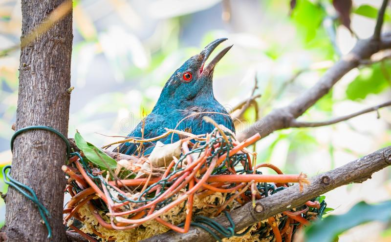 Asian fairy-bluebird Irena puella in a nest royalty free stock photo
