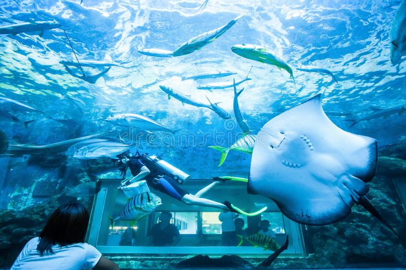 Asian family viewing scuba diver underwater in aquarium with stingray and other seawater fish stock images