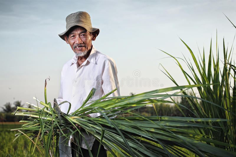 Asian farmer. Indonesian farmer carrying some leaves of young sugar cane