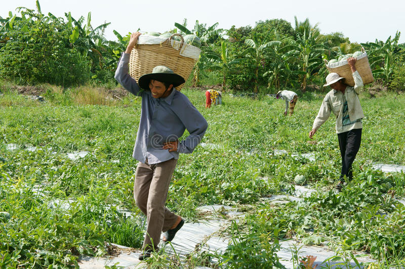 Asian farmer, agriculture field, Vietnamese, watermelon. THAP, VIET NAM- JULY 27: Group of Asian farmer working on agriculture field, Vietnamese man harvesting stock photography