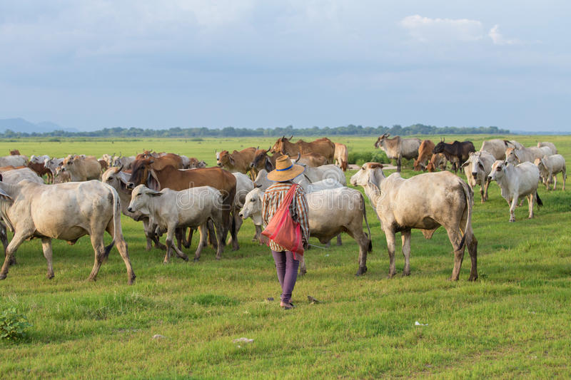 Asian farmer with her cows on field stock image