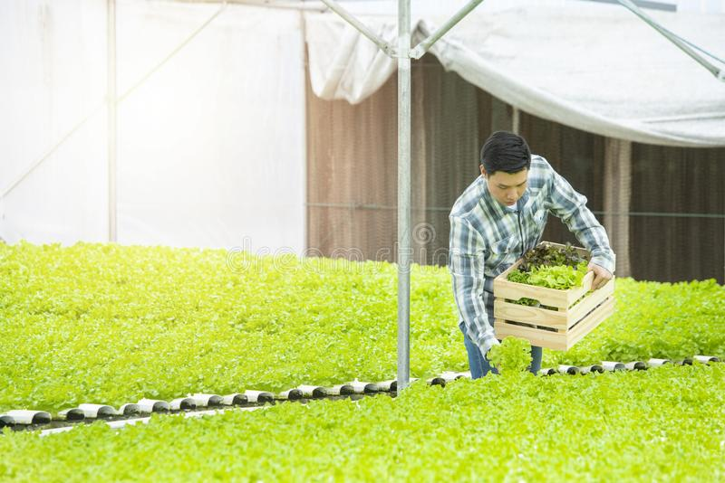 Asian farmer man working in greenhouse hydroponic farm with copy space,Small business entrepreneur and organic vegetable farm and stock image
