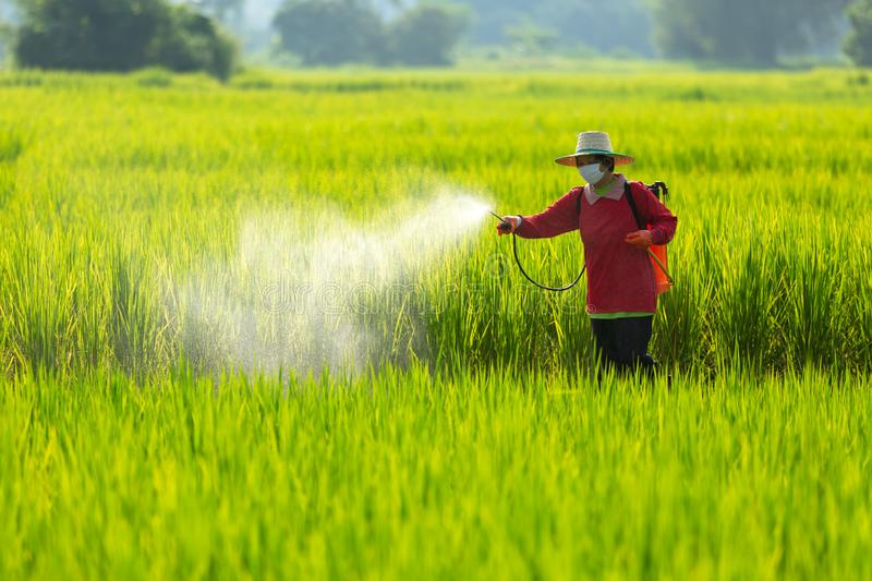 Asian farmer peasantry spraying pesticides in rice fields stock image