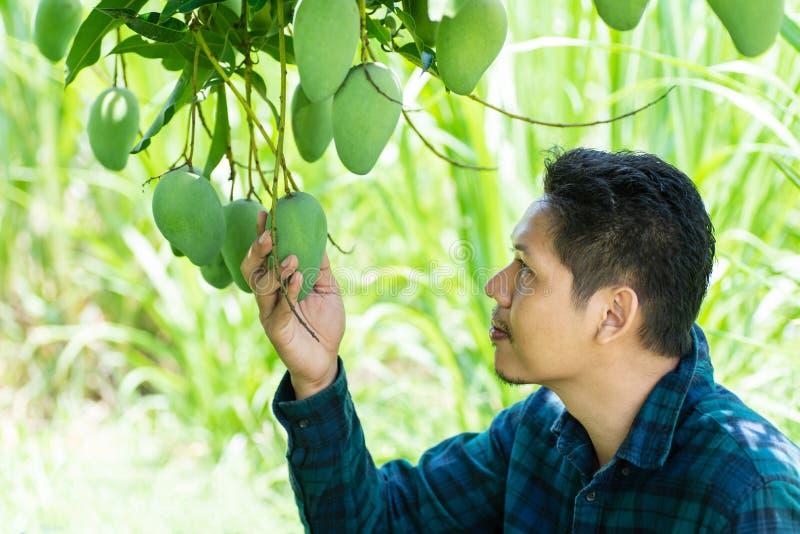 Asian farmer picking raw mango. Young Asian farmer picking raw mango fruit in organic farm royalty free stock photography