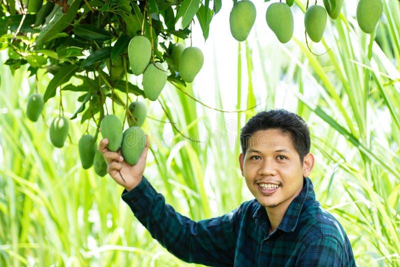 Asian farmer picking raw mango. Young Asian farmer picking raw mango fruit in organic farm stock image