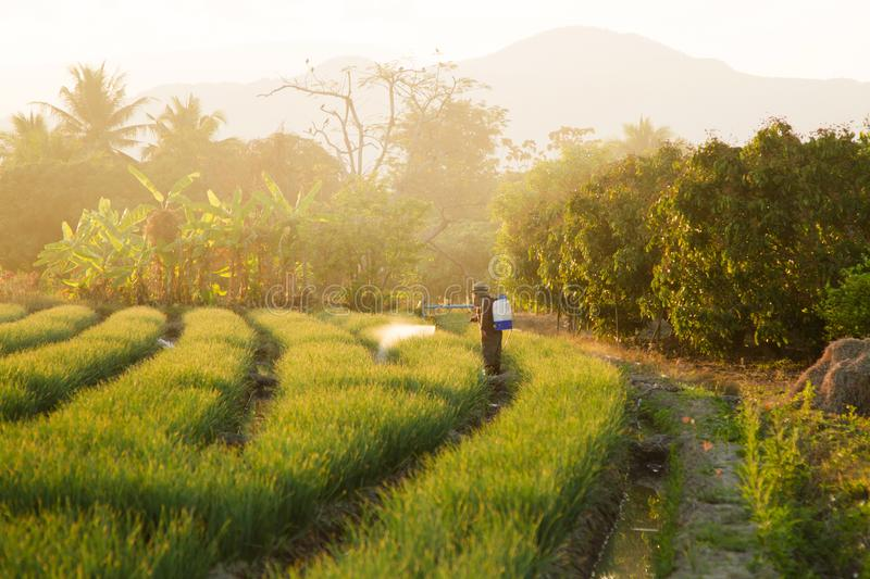 Asian farmer spraying pesticide to crop plant in farm stock images