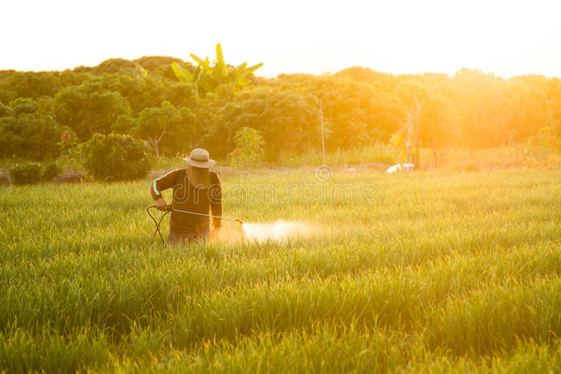 Asian farmer spraying pesticide to crop plant in farm stock photo