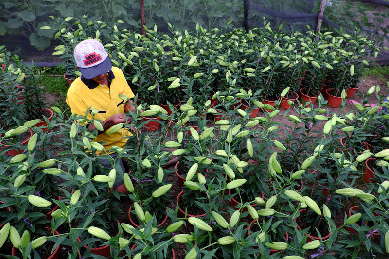 Asian farmer working on lily garden. BINH THUAN, VIET NAM- JAN 21, 2017: Asian farmer working on lily garden at evening, man sit and care flower bud for spring stock photography