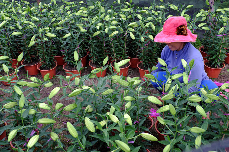 Asian farmer working on lily garden. BINH THUAN, VIET NAM- JAN 21, 2017: Asian farmer working on lily garden at evening, woman sit and care flower bud for spring stock photo