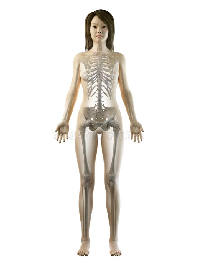 An asian females skeletal system. 3d rendered medically accurate illustration of an asian females skeletal system vector illustration