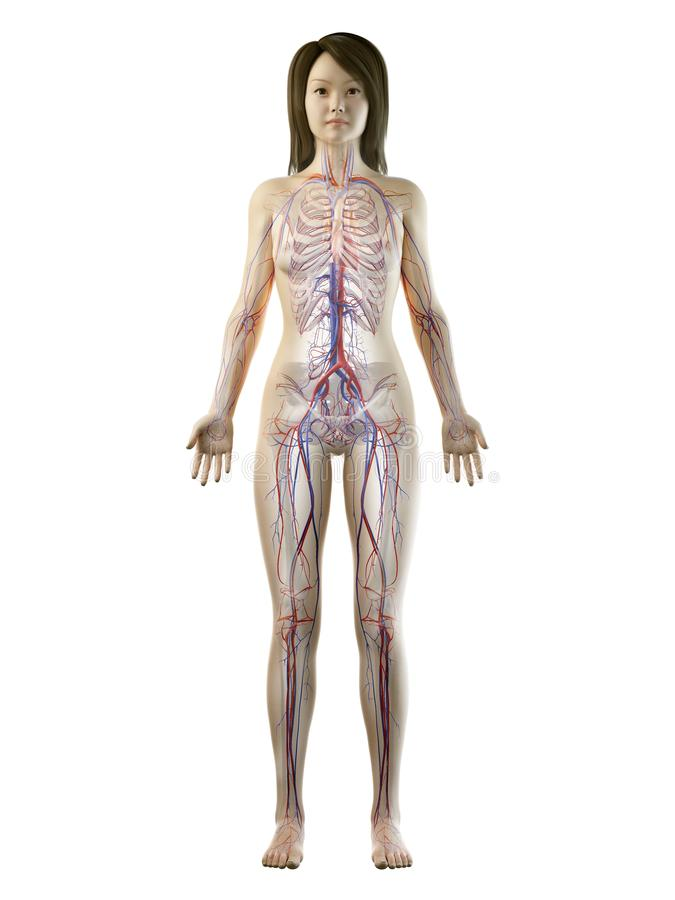 An asian females vascular system. 3d rendered medically accurate illustration of an asian females vascular system stock illustration