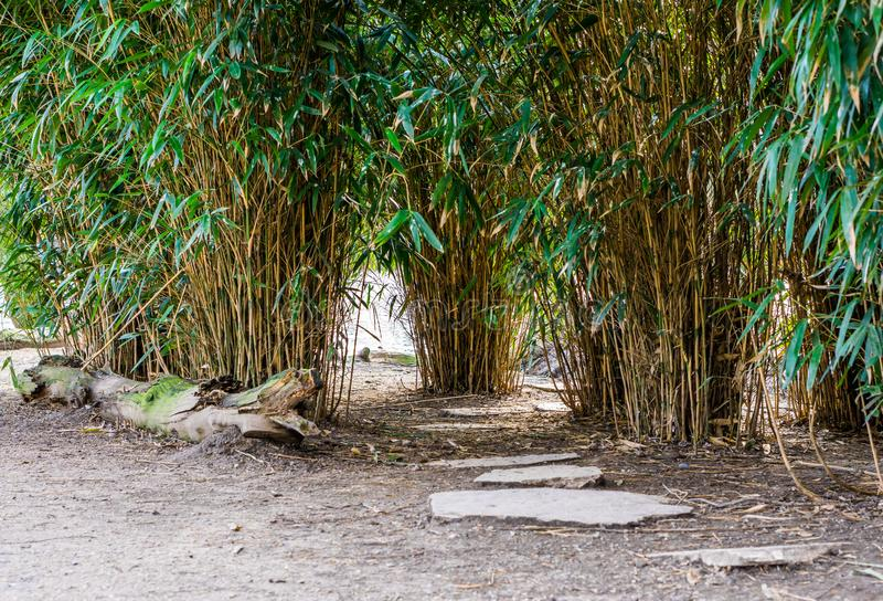 Asian garden, walking path made of big stones and diverse bamboo plants royalty free stock photos