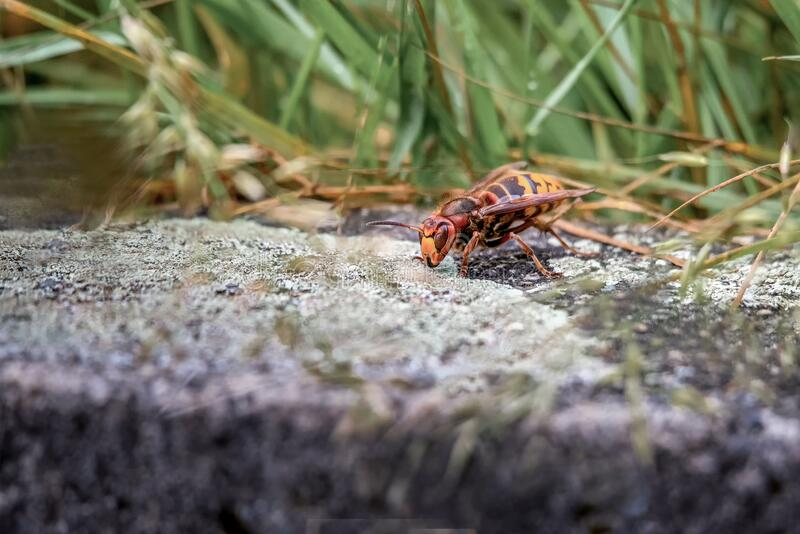 Asian giant hornet. Murder hornets. One vespa mandarinia in spring. Asian giant hornet. Murder hornets. One vespa mandarinia in spring in Lausanne, Switzerland stock images