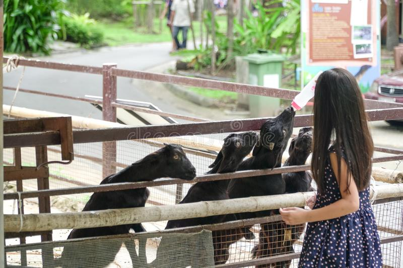 Asian girl bottle-feed the goat in the zoo park royalty free stock images