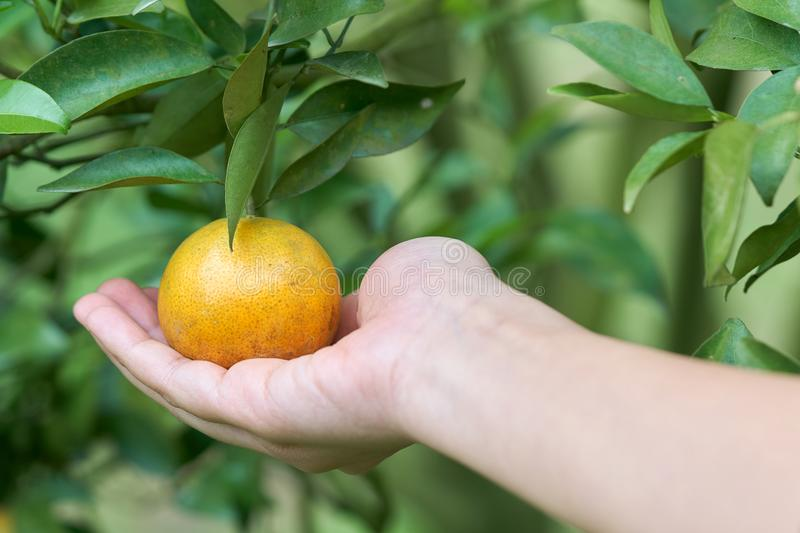 Asian girl hand is harvesting orange from the orange garden in a new sweet pine plantation on a high altitude. as background Healt stock photos