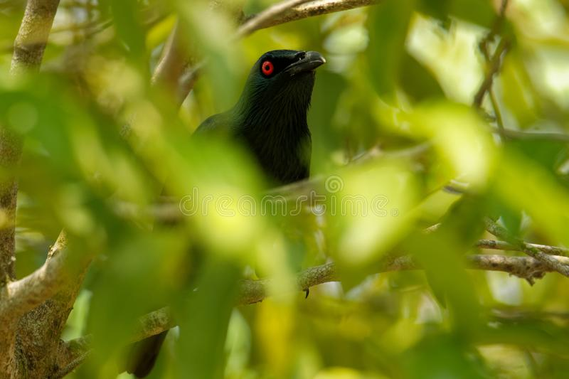 Asian Glossy Starling - Aplonis panayensis red eye bird in the family Sturnidae, found in Bangladesh, Brunei, India, Indonesia,. Asian Glossy Starling - Aplonis royalty free stock photos