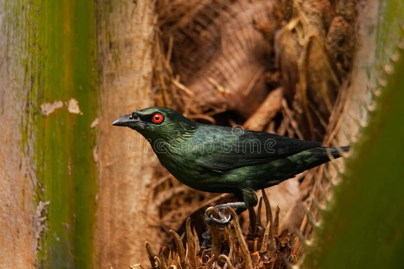 Asian Glossy Starling - Aplonis panayensis red eye black bird in the family Sturnidae, found in Bangladesh, Brunei, India,. Indonesia, Malaysia, Myanmar, the stock images