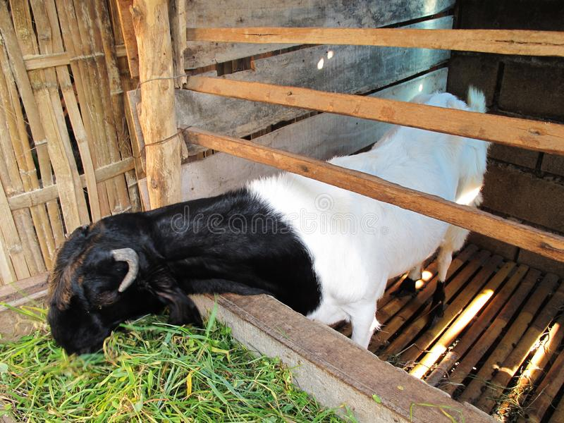 Asian Goat in The Barn, Black and White Color Goat Fur royalty free stock photos