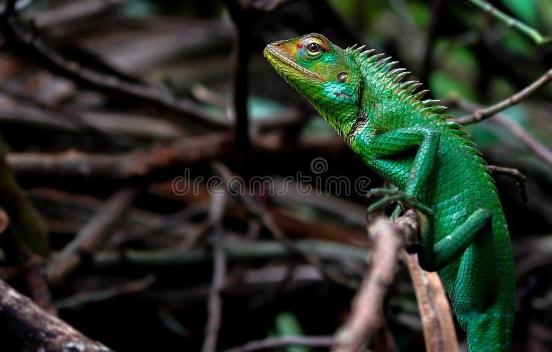 Asian Green Lizard stock photos