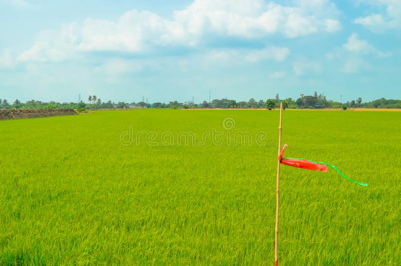 Asian green rice field with blue sky stock image