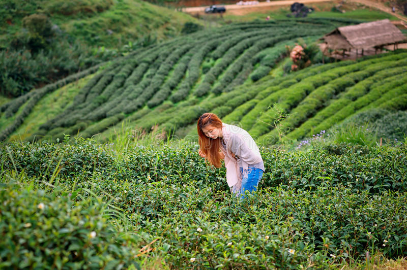 Asian happy woman picking tea leaf in field on doi Angkhang mountain Thailand. Asian beautiful woman picking tea leaf in tea plantation, Angkhang mountain royalty free stock photo
